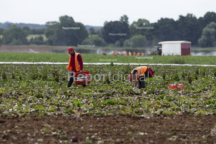 Migrant agricultural workers harvesting red cabbage, Warwickshire - John Harris - 2020-07-23