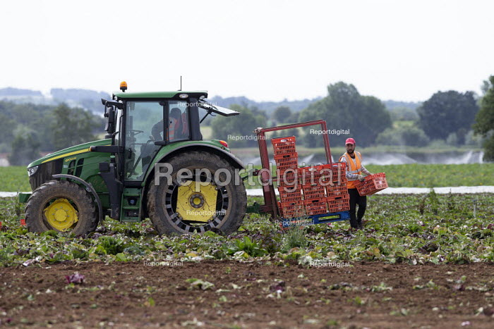Migrant agricultural workers harvesting red cabbage, Warwickshire, loading onto a tractor pallet - John Harris - 2020-07-23
