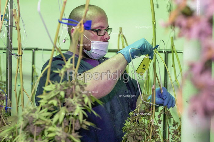 Detroit, USA, Workers harvesting cannabis, Viola Brands, a company founded by NBA veteran Al Harrington. Michigan residents voted to legalize medical marijuana in 2008 and recreational marijuana in 2018. - Jim West - 2020-07-13