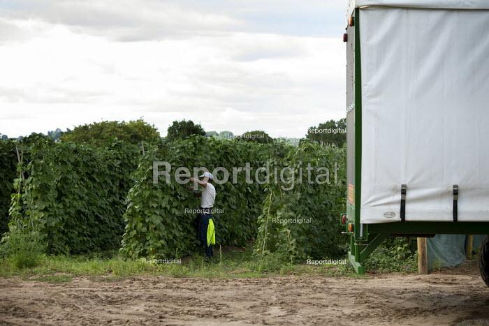 Migrant farmworker picking green beans, Warwickshire - John Harris - 2020-07-28
