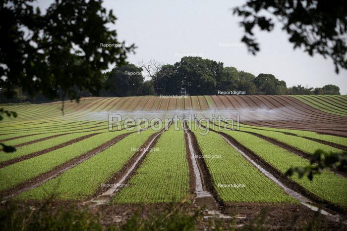 Irrigation of salad crops by traveling sprinkler, Warwickshire - John Harris - 2020-08-12