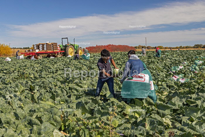 Michigan, USA. Migrant farmworkers harvesting cabbages - Jim West - 2020-10-13