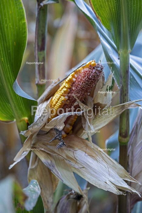 Prairieville, Michigan USA. Corn crop deer damage, where wild deer have partially eaten maize - Jim West - 2020-09-19