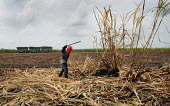 A worker harvest sugar canes in a field in the region of El Valle, near Cali, Colombia. The sugar cane is used to produce Ethanol. - Boris Heger - 09-03-2007