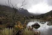A lagoon on the footpath to the mountain range of El Cocuy, culminating at a height of 5400 meters, Colombia. Plants locally named Frailejones, Espeletia, on the footpath to the mountain range of El C... - Boris Heger - 09-03-2007