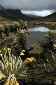A lagoon on the footpath to the mountain range of El Cocuy, culminating at a height of 5400 meters, Colombia. Plants locally named Frailejones, Espeletia, on the footpath to the mountain range of El C... - Boris Heger - 2000s,2007,altitude,americas,andean,colombia,Colombian,Colombians,eni environmental issues,flower,flowering,flowers,footpath,footpaths,height,holiday,holidays,lagoon,lagoons,lake,lakes,landscape,lands
