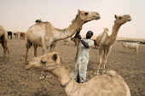 A nomad and his camels, in Al Hosh, near Kutum, Darfur region, Sudan, May 2006. - Boris Heger - 10-05-2006