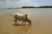 A cow drinks in the Tana River , Eastern Kenya, December 2003. The area is very dry and water systems very scarce. - Boris Heger - 10-12-2003