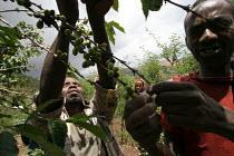 Pickers harvesting Harar coffee beans on a cooperative FairTrade plantation, Oromia, Ethiopia, October 2005. - Boris Heger - 26-10-2005