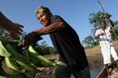 An indigenous man who benefits from a UNHCR-funded micro credit programme loads a pirogue with Plantanos bananas to be sold on the market, near Yaviza, Darien region, Panama, January 2006. This remote... - Boris Heger - 30-08-2006