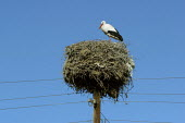 A stork stands on her nest near Khor Virap, Armenia, February 2005. - Boris Heger - 05-03-2005