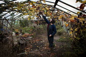 A young man picks grapes from his conservatory in his back garden farm, Ryhill, Wakefield, Yorkshire - Connor Matheson - 10-12-2013