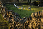 Spring lambs running around at Low Longmire Farm, sheep farming in Cumbria. - Christopher Thomond - 2000s,2009,agricultural,agriculture,animal,animals,capitalism,capitalist,country,countryside,domesticated ungulate,domesticated ungulates,Drystone Wall,EBF,Economic,Economy,eni environmental issues,fa