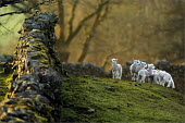 Spring lambs running around at Low Longmire Farm, sheep farming in Cumbria. - Christopher Thomond - 2000s,2009,agricultural,agriculture,animal,animals,capitalism,capitalist,CLIMATE,conditions,country,countryside,domesticated ungulate,domesticated ungulates,Drystone Wall,EBF,Economic,Economy,eni envi