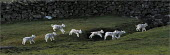 Spring lambs running around at Low Longmire Farm, sheep farming in Cumbria. - Christopher Thomond - 2000s,2009,agricultural,agriculture,animal,animals,capitalism,capitalist,country,countryside,domesticated ungulate,domesticated ungulates,EBF,Economic,Economy,eni environmental issues,farm,farmed,farm