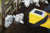 Inspectors from the Rural Payments Agency testing sheep for radiation with a Geiger counter at Baskell Farm. Lambs are still being tested 23 years after rainfall following the Chrnobyl nuclear power s... - Christopher Thomond - 2000s,2009,85-C,accident,accidental,accidents,Agency,agricultural,agriculture,animal,animals,atomic,capitalism,capitalist,Contamination,counter,degradation,detector,detectors,domesticated ungulate,dom