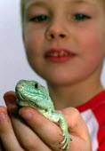 A boy examines a Spanish Eyed Lizard during an environmnetal day at the Shirebrook nature reserve, Sheffield - David Bocking - 02-10-2006