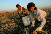 Maria Antonietta Gonzalez and Jose Angel Martinez Gonzalez, two immigrants from Carranza, Chiapas, top and bag onions at sunset. Onion harvesters work in the morning and evening, and don't work during... - David Bacon - 2000s,2006,agricultural,agriculture,America,americans,Amerindian,Amerindians,BAME,BAMEs,BME,bmes,by hand,California,capitalism,capitalist,Chiapas,crop,crops,Diaspora,diversity,EARNINGS,EBF Economy Ame