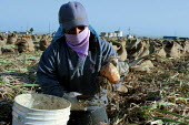 Concepcion Leon, an indigenous Zapotec immigrant from Jutla, Oaxaca, tops onions early in the morning. Onion harvesters work in the morning and evening, and dont work during the early afternoon when t... - David Bacon - 10-06-2006