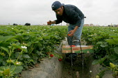 Strawberry workers in Oxnard, most of whom are migrants from the Mexican states of Oaxaca, Guerrero and Michoacan. California USA - David Bacon - 2000s,2006,AGRICULTURAL,agriculture,America,americans,Amerindian,Amerindians,bme minority ethnic,by hand,California,capitalism,capitalist,crop,crops,Diaspora,EARNINGS,EBF,Economic,Economy,employment a