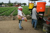 Guillermina Diaz, a Mixtec immigrant from Oaxaca, picks strawberries. She and her sister support three other family members, all of whom sleep and live in a single room in a house in Oxnard, where oth... - David Bacon - 2000s,2006,AGRICULTURAL,agriculture,America,americans,Amerindian,Amerindians,bme minority ethnic,by hand,California,capitalism,capitalist,crop,crops,Diaspora,EARNINGS,EBF,Economic,Economy,employment a