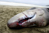 A newborn sperm whale beached itself not long after birth. The teeth are undeveloped, and its eyes have not yet opened completely. Increasing numbers of whales beach themselves for reasons which are n... - David Bacon - 26-11-2004