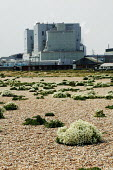 Dungeness, Kent, the country's largest and oldest shingle beach dating back over 800 years. Sea cabbage or sea kale seen near the nuclear power station - David Mansell - 10-11-2000