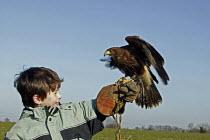 Joe Flanagan 7 year old, is holding a harris hawk, during his one day falconry course, at Impact Falconry, Blackbirds Farm Aldenham, Hertfordshire. - David Mansell - 2000s,2008,animal,animals,bird,bird of pray,birds,boy,boys,child,CHILDHOOD,children,edu education,eni environmental issues,falcon,falconer,falconers,Farm,hawk,hawking,hawks,hunt,hunting,Impact,juvenil