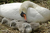 One day old, newly born cygnet swans seen with their mother on their nest on the banks of the river Chess, Rickmansworth, Hertfordshire. environment wildlife birds - David Mansell - 05-05-2008