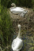 One day old, newly born cygnet swans seen with their mother at their nest on the banks of the river Chess, Rickmansworth, Hertfordshire, with the Cob, the father looking on, protecting them.  environ... - David Mansell - 05-05-2008