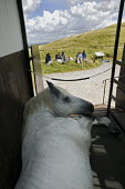A life-size model horse inside a horsebox, exhibitioning at The Museum of the White Horse. A art project which was sponsored by Oxford University Ruskin School and the Archaeology Dept, and who commis... - David Mansell - 16-08-2007