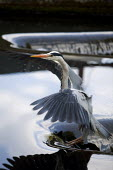 A Grey Heron (Ardea cinerea) fishing on the River Chess at Batchworth Lock, Rickmansworth, in Hertfordshire. - David Mansell - 15-05-2010