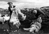 Crofters Sheep shearing, carrying a fleece Shetland Islands, Scotland - David Mansell - 1970s,1975,agricultural,agriculture,animal,animals,by hand,capitalism,capitalist,carries,carry,carrying,Croft,Crofter,Crofters,Crofting,Crofts,domesticated ungulate,domesticated ungulates,dry,Drystone