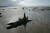 Remains of a submerged ancient forest, showing the trunks and roots of trees which grew 1500 years ago before sea levels rose to cover them, Cardigan Bay, Borth, North Wales. The lost land of Cantre'r... - David Mansell - 2000s,2006,Cantre'r Gwaelod,climate change,coast,coastal,coasts,eni environmental issues,forest,land,lost,OCEAN,of,outdoors,outside,petrified,petrify,rising,sea,sea Levels,seascape,seashore,seaside,se