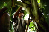 Youth ties the trunks of banana trees to supporting wires above, in the Soyapa Farms banana plantation in San Jose Campostela, Mindanao, in the Philippines. The families on the plantation are paid so... - David Bacon - 05-01-2007