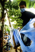 Youth climbs a bamboo ladder, pulling a plastic bag over each bunch of bananas. The bags are treated with a pesticide, Lorsban. He works in the Soyapa Farms banana plantation in San Jose Campostela, M... - David Bacon - 2000s,2007,agriculture agricultural,Asia,asian,asians,BAG,bags,banana,banana bananas,bananas,boy boys,by hand,capitalism,capitalist,child,child children,Child Labor,child labour,CHILDHOOD,children,cro