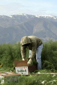 A gang of Mexican migrant farmworkers cutting and packing boxes of anise (Aniseed) Salinas Valley. It is so cold that snow is on the peaks of the mountains on each side of the valley. - David Bacon - 18-12-2008