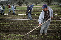 Triqui Mexican migrant farm workers thin radish plants in a field near San Juan Bautista, California, USA - David Bacon - 21-02-2009