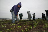 Triqui Mexican migrant farm workers thin radish plants in a field near San Juan Bautista, California, USA - David Bacon - 2000s,2009,agricultural,agriculture,America,American,americans,Amerindian,Amerindians,Analogue,attention,attentive,BAME,BAMEs,BME,bmes,by hand,California,capitalism,capitalist,communicating,communicat