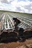 An irrigator shovels earth to clear an irrigation ditch in a strawberry field. - David Bacon - American,2000s,2009,agricultural,agriculture,America,American,americans,Amerindian,Amerindians,BAME,BAMEs,BME,bmes,capitalism,capitalist,crop,crops,Diaspora,digging,diversity,EARNINGS,EBF,Economic,Eco