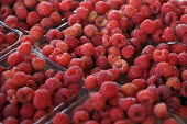 Raspberries picked by Mixtec migrants from the Mexican state of Oaxaca who live in and near Watsonville and work in the fields, California, USA - David Bacon - 08-05-2009