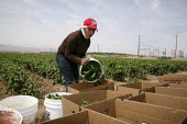 California, migrant Mixtec farmworkers from Oaxaca pick jalapeno chiles. - David Bacon - 12-06-2009
