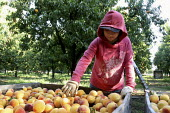 Jacqueline Hernandez, a Mexican girl, sorts peaches. Migrant Mexican workers picking and sorting peaches in Marysville, in California's Sacramento River Valley. - David Bacon - 2000s,2009,adolescence,adolescent,adolescents,agricultural,agriculture,America,American,americans,BAME,BAMEs,BME,bmes,by hand,capitalism,capitalist,child,Child Labor,child worker,CHILDHOOD,children,cr