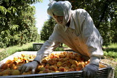 Migrant workers from the Punjab region of India and Pakistan work picking and sorting peaches in Marysville, in California's Sacramento River Valley. - David Bacon - 03-08-2009