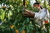 Migrant Mexican workers picking peaches in Marysville, in California's Sacramento River Valley. - David Bacon - American,2000s,2009,agricultural,agriculture,America,American,americans,BAME,BAMEs,BME,bmes,by hand,capitalism,capitalist,crew,crop,crops,Diaspora,diversity,EARNINGS,EBF,Economic,Economy,employee,empl