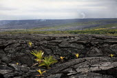 Plants growing in a solidified lava field, as smoke rises from another eruption and flow on the side of a volcano. Big Island, Hawaii, USA. - David Bacon - , American,2010,2010s,America,American,americans,biodiversity,coast,coastal,coasts,coconut,eruption,fauna,flora,flow,flower,flowering,flowers,growing,Hawaii,island,islands,lava,National Park,Nature Re