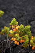 Vaccinium reticulatum, Ohelo Ai, Hawaiian Blueberry. Plants growing in a solidified lava field. Kau Desert in the southwestern area of the park, it is a large expanse of semi-arid lava plain. Big Isla... - David Bacon - American,2010,2010s,ai,America,American,americans,berries,coast,coastal,coasts,Desert,fauna,flora,flow,flower,flowering,flowers,growing,Hawaii,island,islands,lava,National Park,Nature Reserve,Ocean,oh