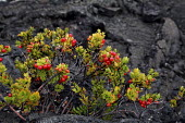 Vaccinium reticulatum, Ohelo Ai, Hawaiian Blueberry. Plants growing in a solidified lava field. Kau Desert in the southwestern area of the park, it is a large expanse of semi-arid lava plain. Big Isla... - David Bacon - American,2010,2010s,ai,America,American,americans,berries,coast,coastal,coasts,Desert,fauna,flora,flow,flower,flowering,flowers,growing,Hawaii,island,islands,lava,National Park,Ocean,ohelo,Pacific,pla