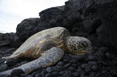 A green sea turtle suns itself on the rocks near the shore, on the windward (eastern) side of the big island of Hawaii. Big Island, Hawaii, USA. - David Bacon - American,2010,2010s,America,American,americans,animal,animals,aquatic,beach,beaches,Chelonia Mydas,coast,coastal,coasts,Endangered Species,Green Sea Turtle,Hawaii,island,islands,National Park,Nature R