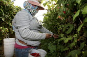 California - A worker from Oaxaca picks raspberries in field covered by a plastic polytunnel to protect it from rain and direct sun. Women often wear a bandanna to protect them from the dust. - David Bacon - American,2010,2010s,agricultural,agriculture,America,American,americans,Amerindian,Amerindians,BAME,BAMEs,bandanna,BME,bmes,by hand,California,capitalism,capitalist,casual workers,chemical,chemicals,c